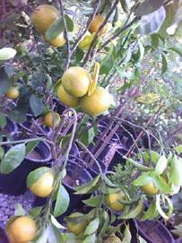 Citrus Mandarin Tangerine Fairchild