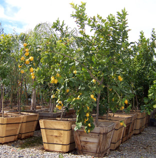 24 Box Citrus Trees Lowest Prices